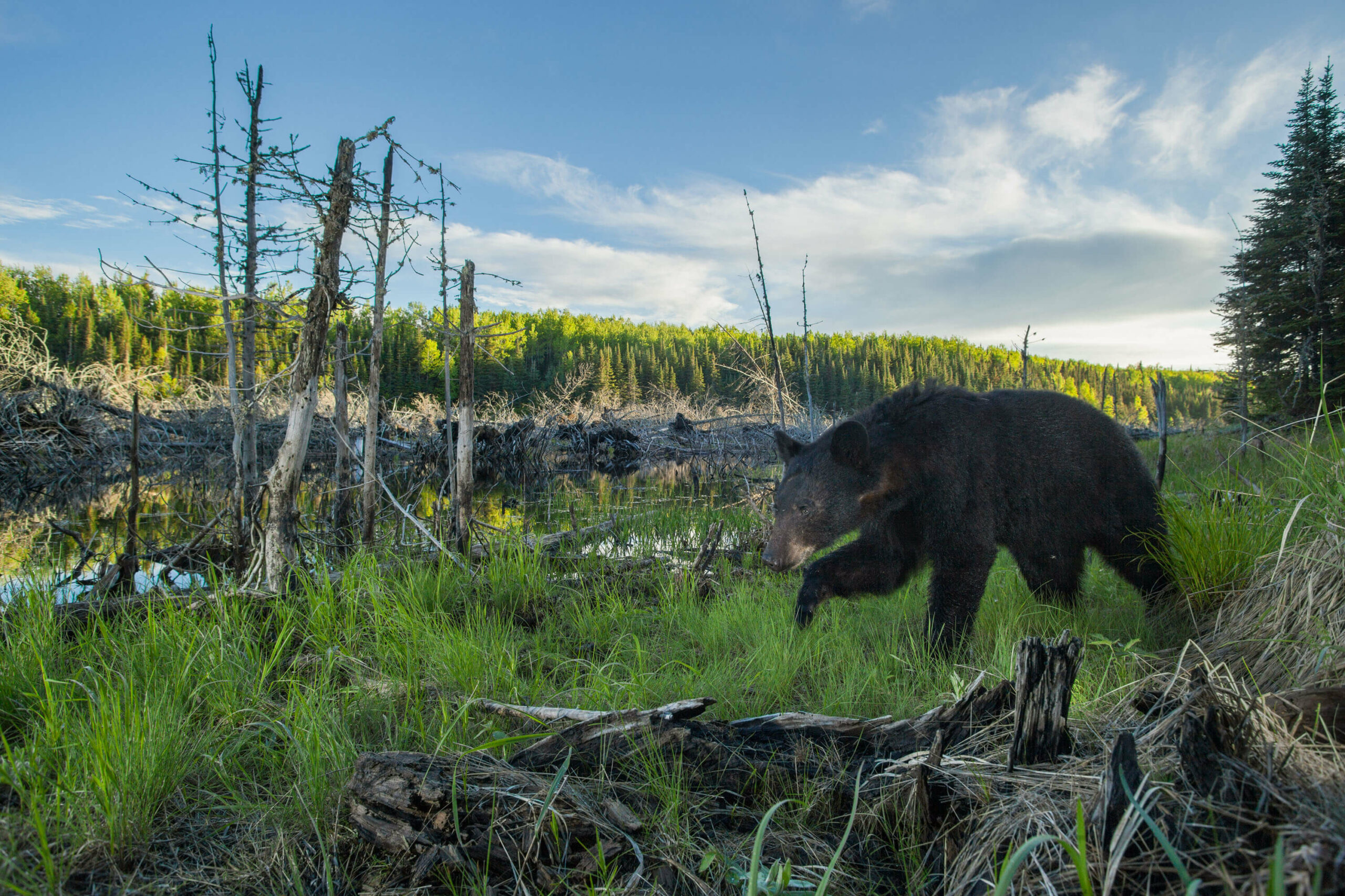 Image of a bear in the Boundary Waters