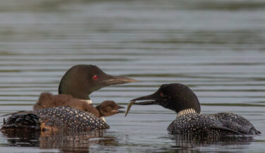 Loon feeding fish to chick in BWCA